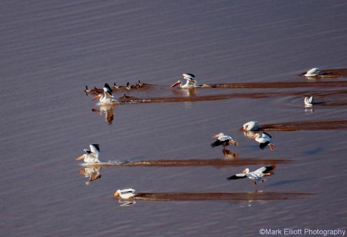 american-white-pelican-8-1280x877