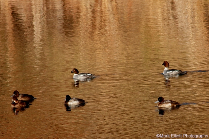 goldeneye-and-lesser-scaup-3-1280x855