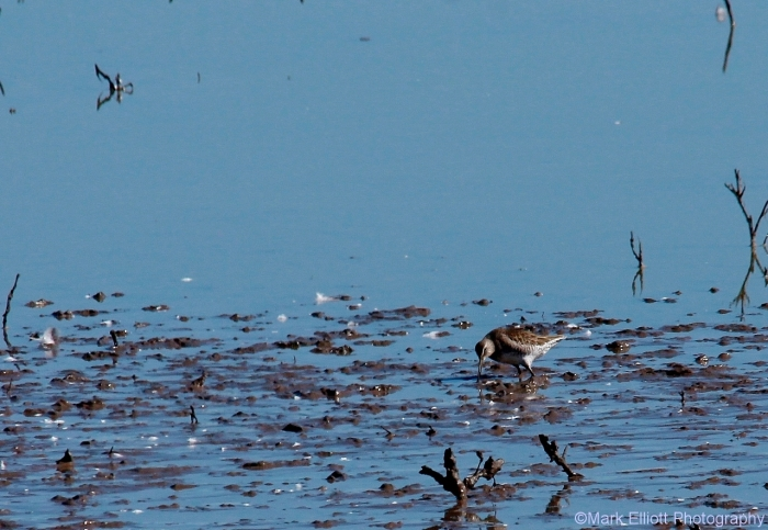 long-billed-dowitcher-12-1280x885