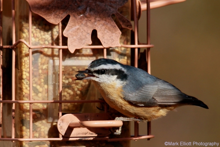 red-breasted-nuthatch-1280x854