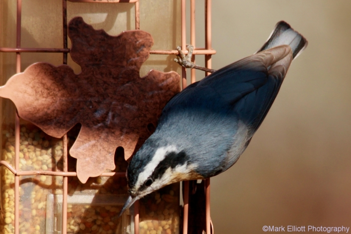red-breasted-nuthatch-4-1280x854