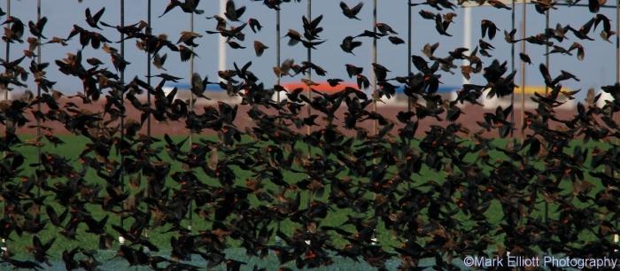 red-winged-blackbird-70-1280x560
