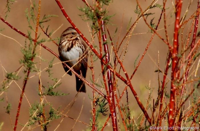 song-sparrow-32-1280x840