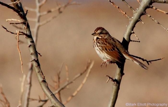 song-sparrow-34-1280x818