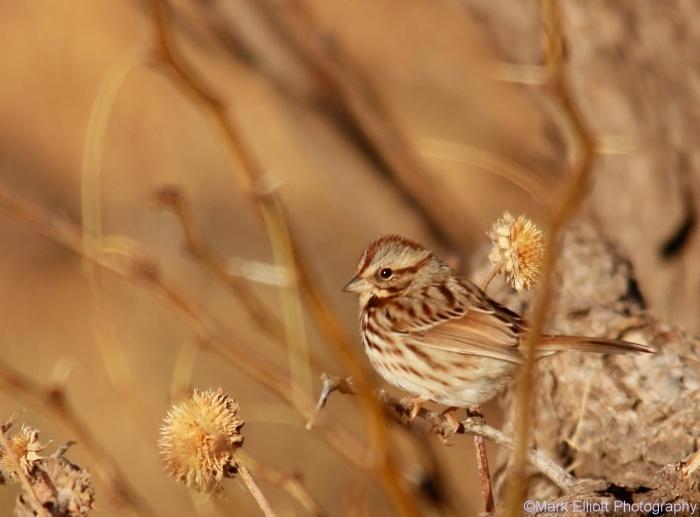 song-sparrow-40-1280x947