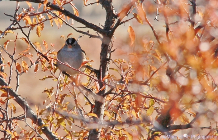 white-crowned-sparrow-25-1280x825