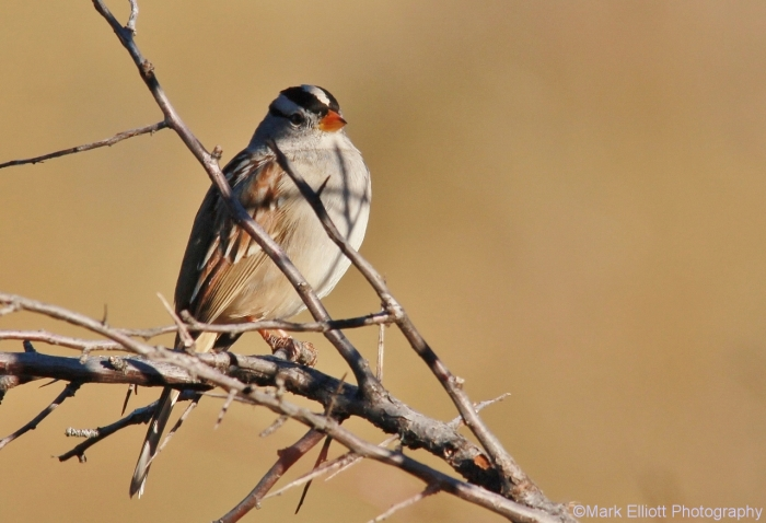 white-crowned-sparrow-29-1280x875