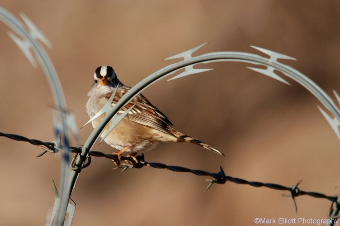 white-crowned-sparrow-72-1280x855