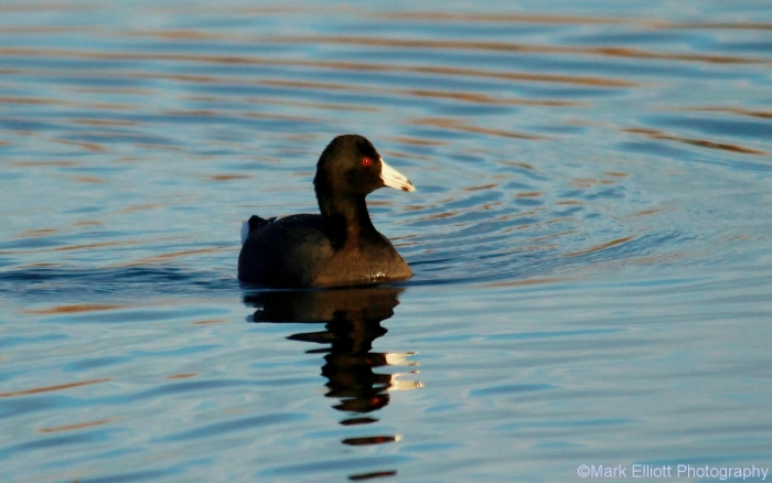 american-coot-22-1280x801