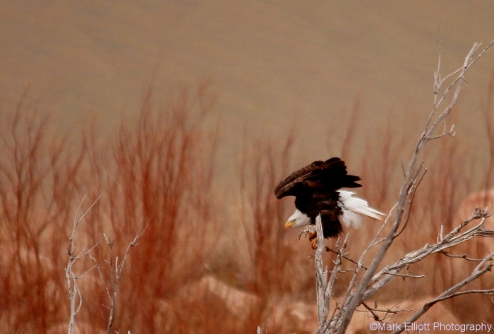 bald-eagle-384-1280x866