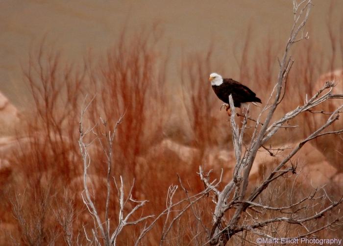 bald-eagle-390-1280x918