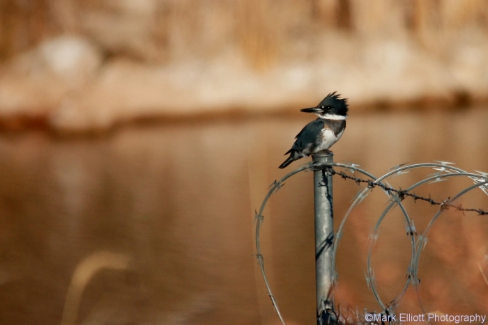 belted-kingfisher-30-1280x855