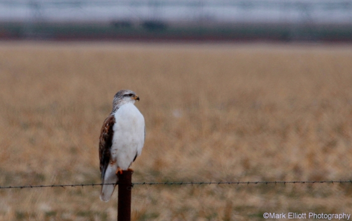 ferruginous-hawk-2-1280x803