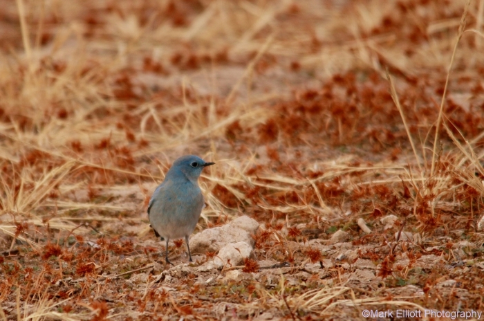 mountain-bluebird-15-1280x850