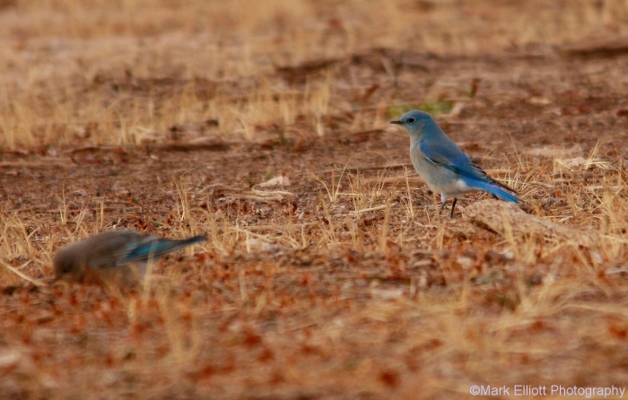 mountain-bluebird-17-1280x816