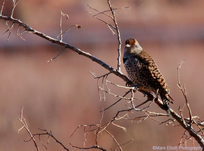 northern-flicker-1280x948