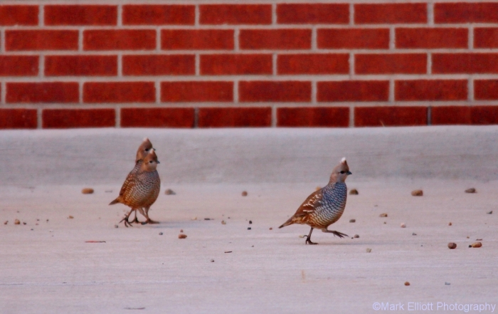 scaled-quail