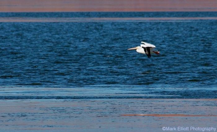 american-white-pelican-29-1280x779