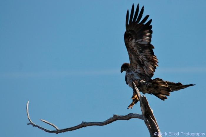 bald-eagle-356-1280x851