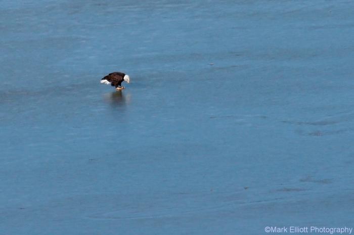 bald-eagle-7-1280x849