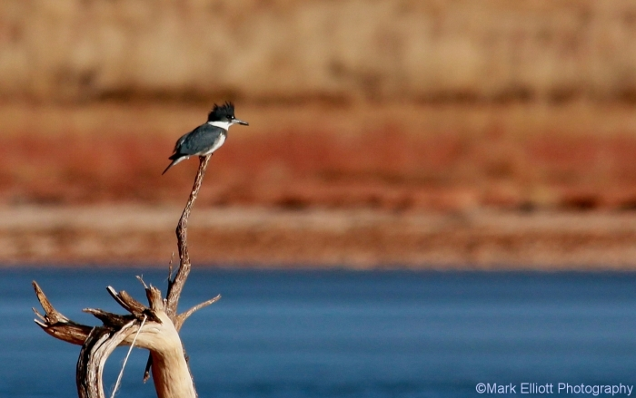 belted-kingfisher-5-1280x803