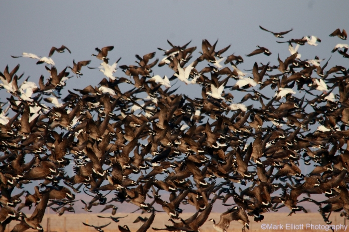 canada-geese-and-snow-geese-2-1280x853