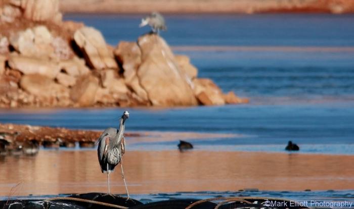 great-blue-heron-2-1280x758