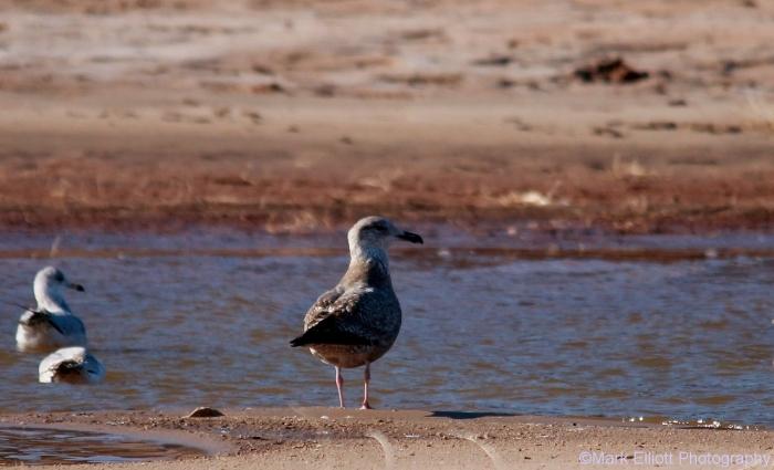 herring-gull-juvenile-3-1280x778