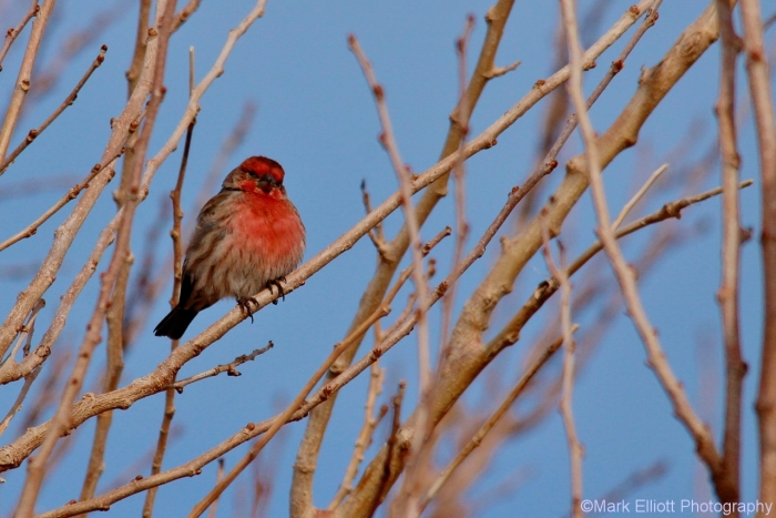house-finch-36-1280x854