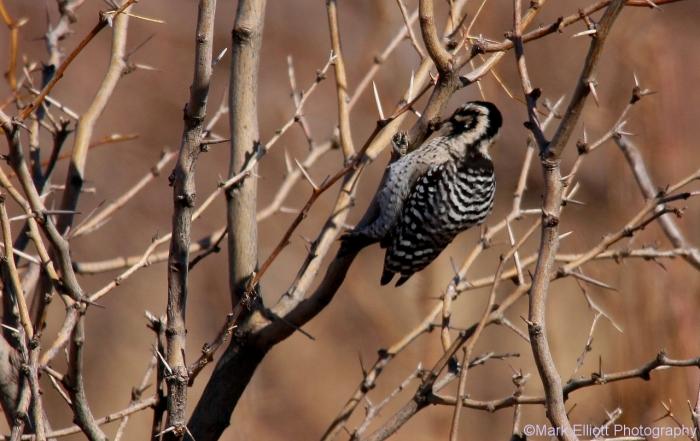 ladder-backed-woodpecker-127-1280x808