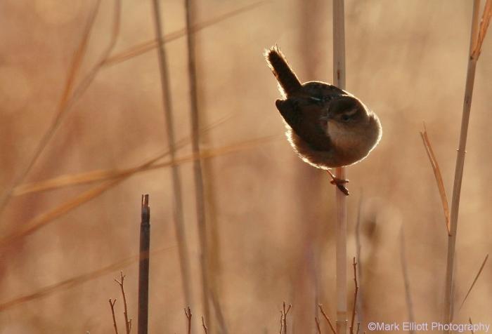 marsh-wren-3-1280x871