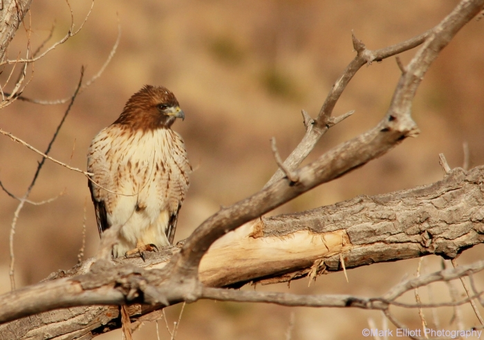 red-tailed-hawk-122-1280x900