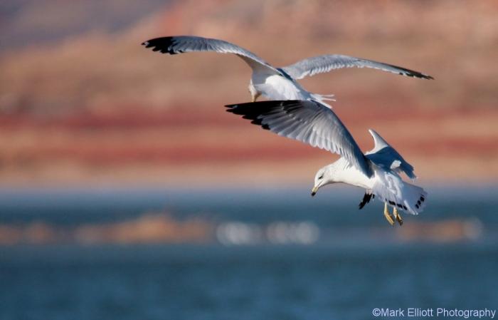 ring-billed-gull-4-1280x822