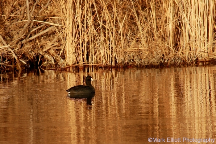 american-coot-4-1024x684