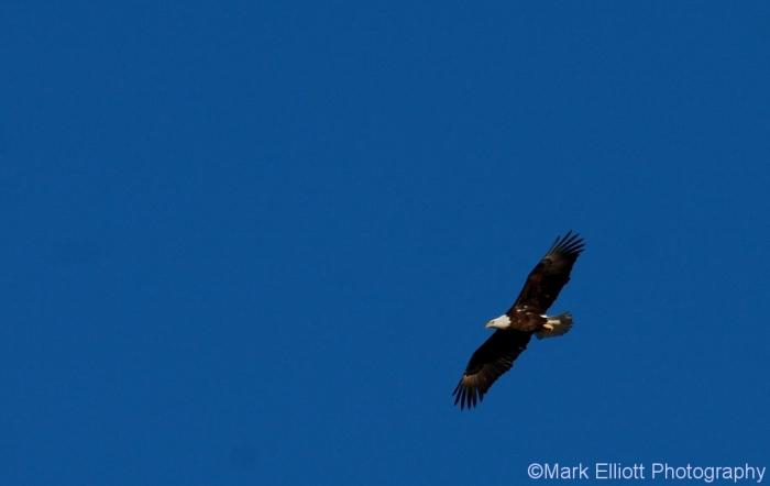 bald-eagle-393-1024x647