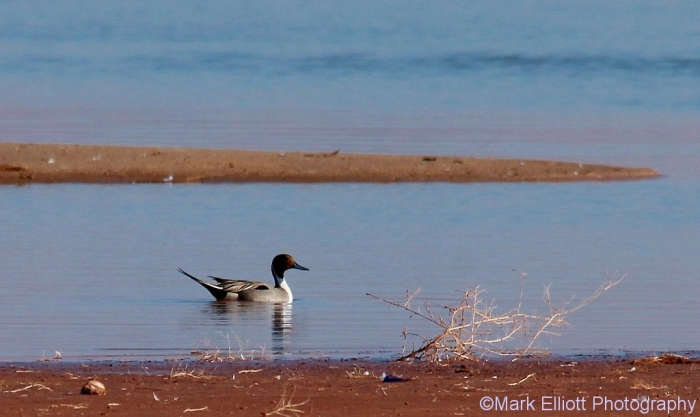 northern-pintail-4-1024x611