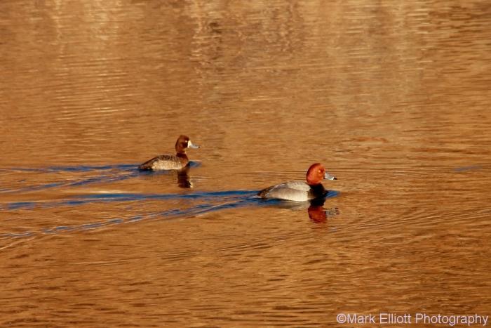 redhead-lesser-scaup-4-1024x684