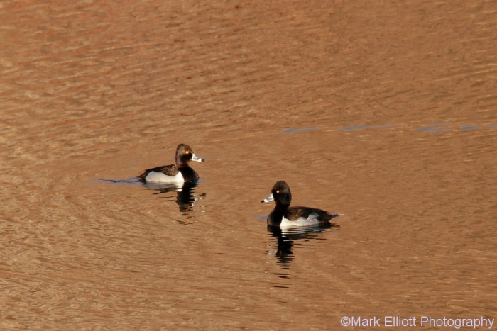ring-necked-duck-7-1024x684