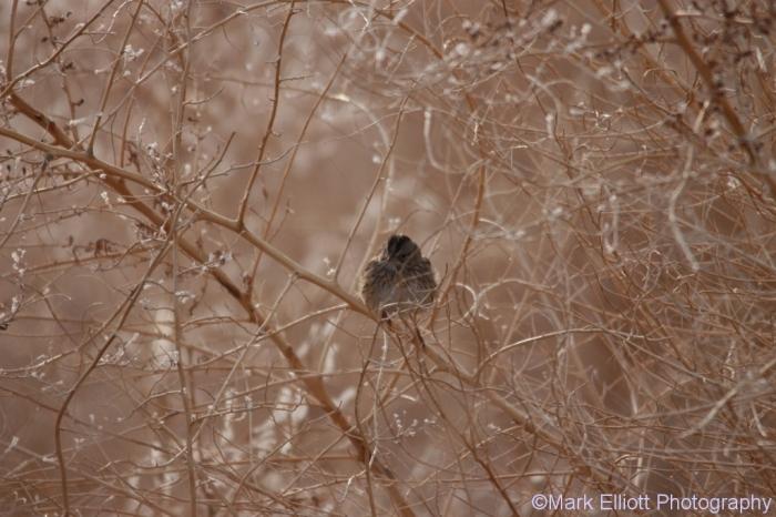 american-tree-sparrow-17-1024x683
