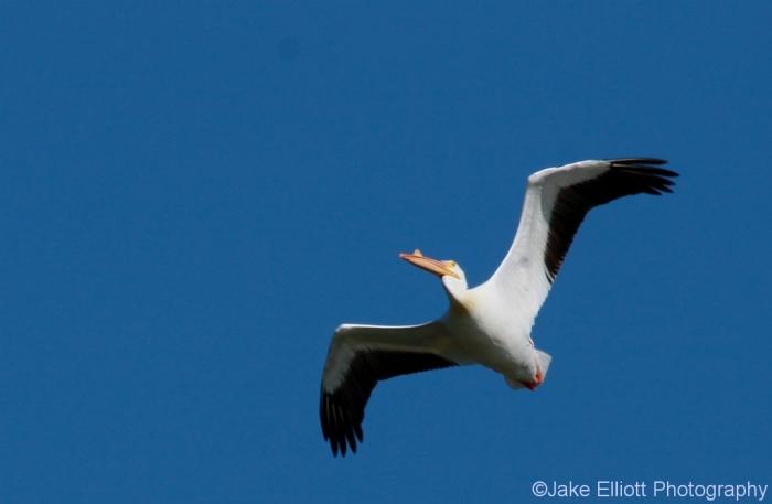 american-white-pelican-10-1024x669