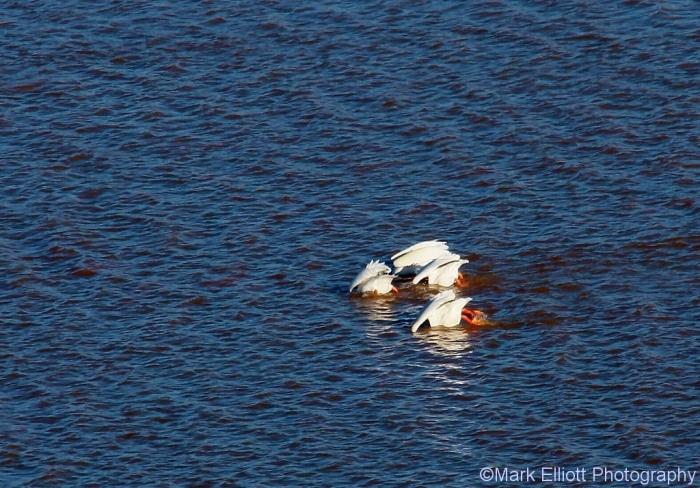 american-white-pelican-16-1024x714