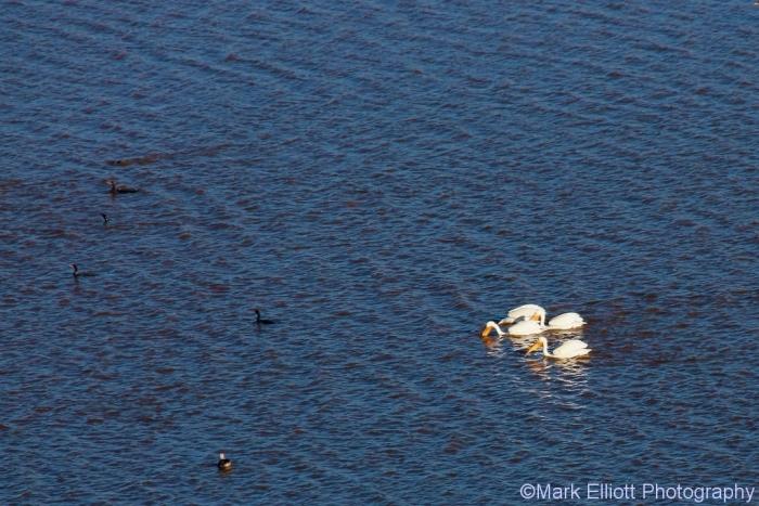 american-white-pelican-17-1024x684