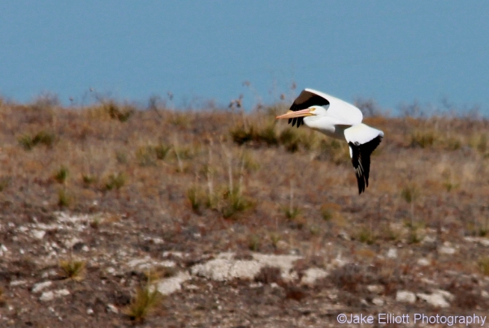 american-white-pelican-2-1024x689