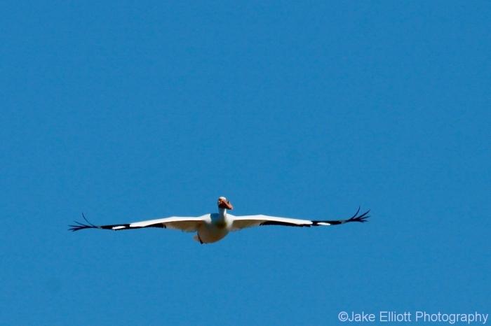 american-white-pelican-7-1024x682