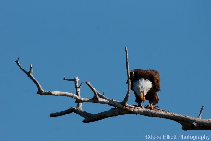 bald-eagle-15-1024x684