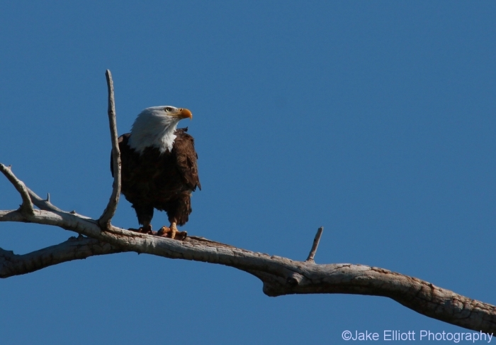 bald-eagle-19-1024x711