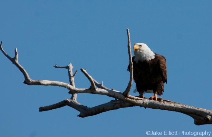 bald-eagle-21-1024x661