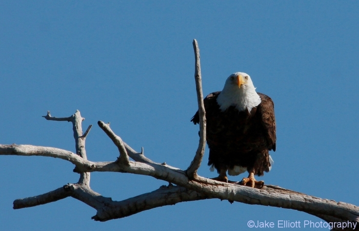 bald-eagle-22-1024x660