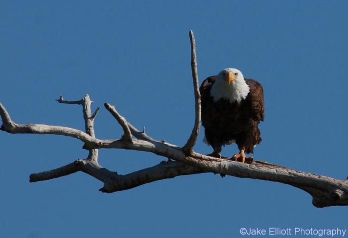 bald-eagle-23-1024x702