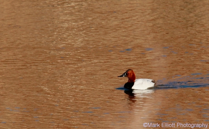 canvasback-2-1024x633